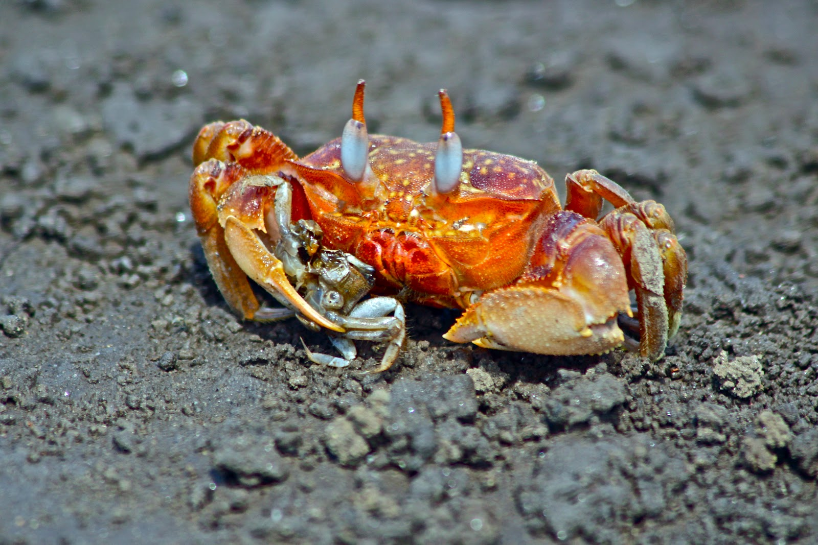 what do blue crabs eat