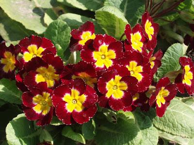 Цветок имени Диана примула