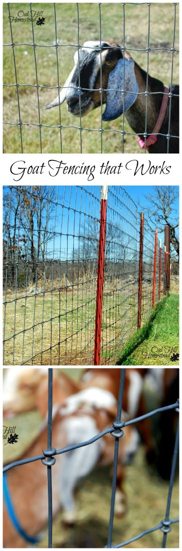 The Most Effective Fencing to Keep Goats In Their Pen - Oak