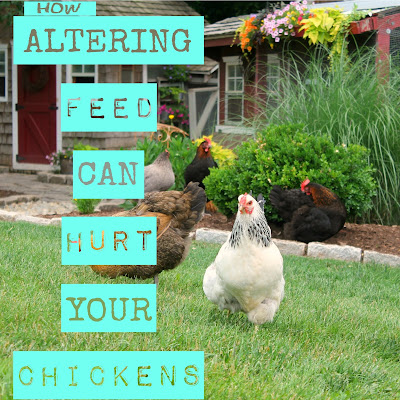 How Altering Feed Can Hurt Backyard Chickens