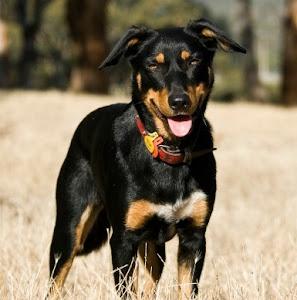 About Dog Australian Kelpie