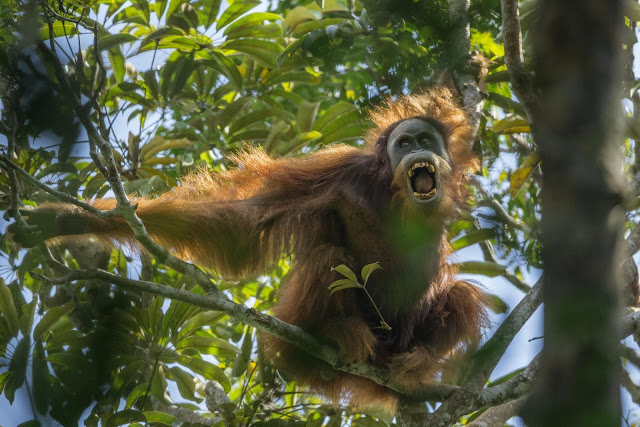 Green Pear Diaries, fotografía, World Press Photo Contest 2016, Tough Times for Orangutans, Tim Laman