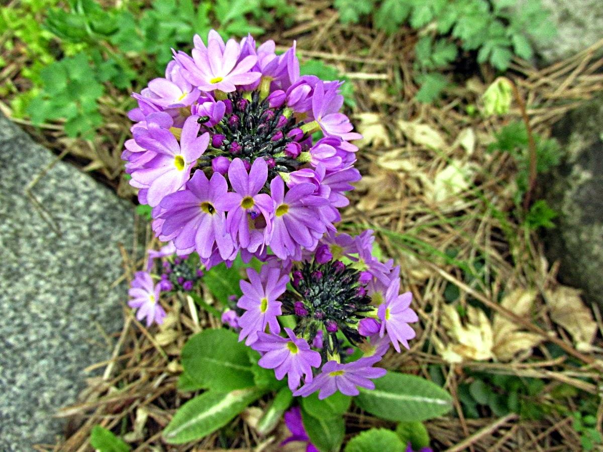 Z Kwiatka Na Kwiatek W Moim Ogrodzie Pierwiosnek