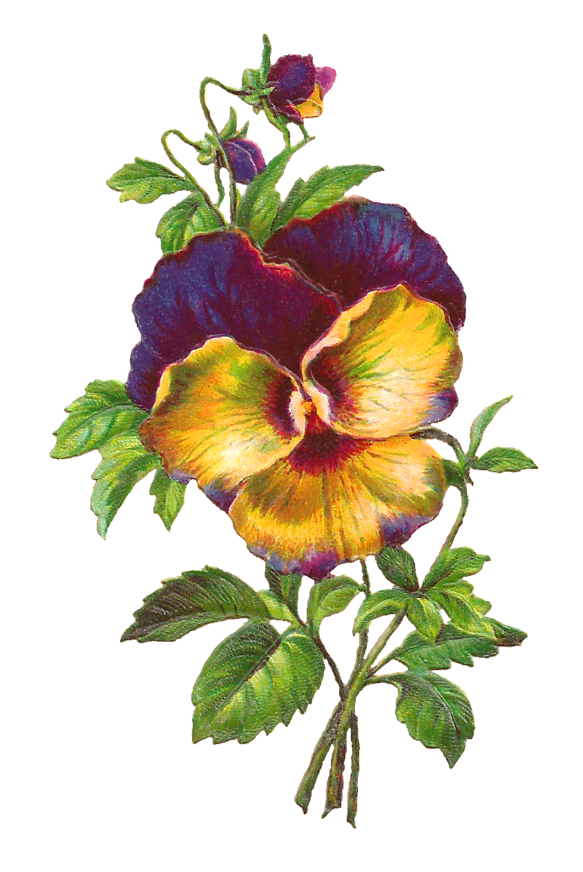antique images free pansy download purple flower image pansy clip art free Black and White Pansy Clip Art