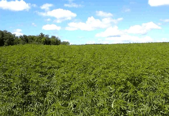 Maconha-plantações