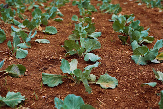 Green plants growing in red dirt. Photo by Jens Johnsson