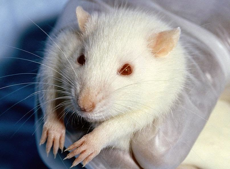 the study was carried out with rats with micropenis