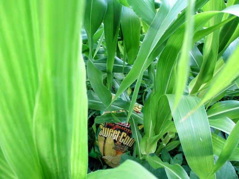 Fire Roasted Sweet Corn Potato Chips in a Corn Field