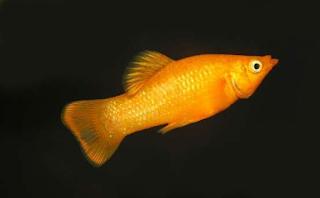 Harga Ikan Golden Molly
