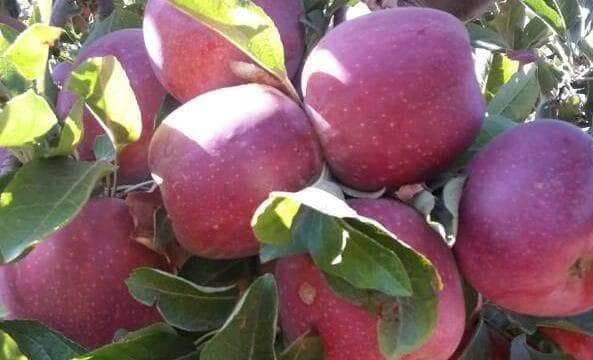بسبب عدم وجود أسواق لتصريفها,آلاف الأطنان من تفاح السويداء مهددة بالتلف.؟