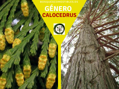 Lista de arboles en la Península del Género Calocedrus
