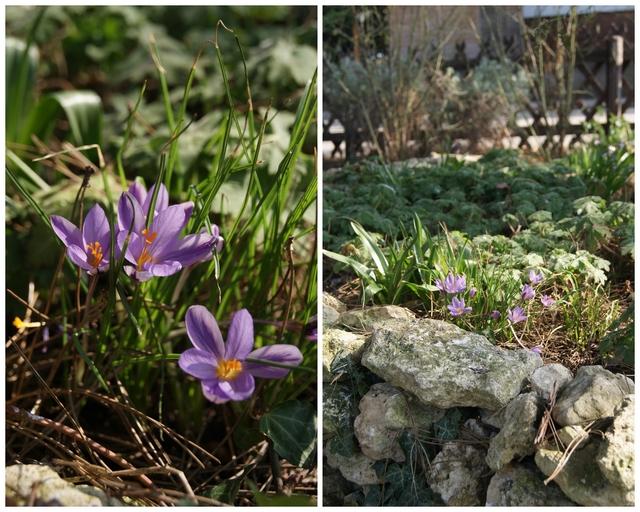 """Krokus """"Spring Beauty"""""""