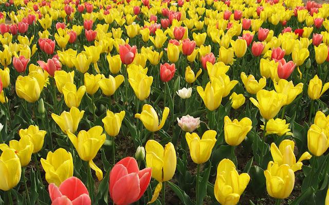 Foto gele en rode tulpen