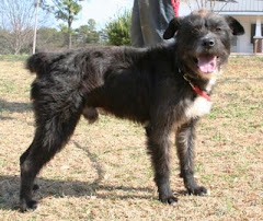 7/16/11 Mason's Foster Family is Moving.He will be taken back to shelter and killed unless rescue
