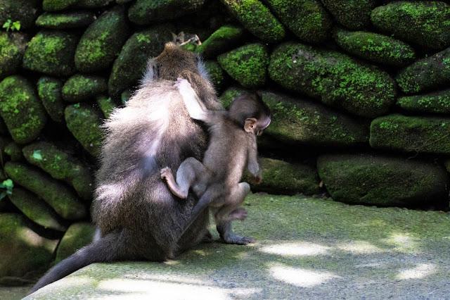 Scimmie nella Monkey forest-Ubud-Bali