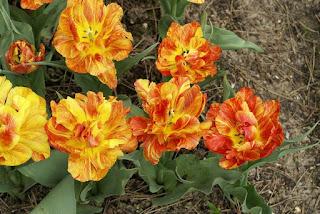 Tulipe double hâtive Monte flame - Tulipa Monte flame - Tulipe Monte flame