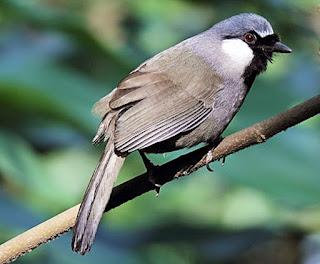 Foto Burung Bancit