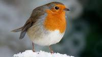 Robin bird pictures_Turdus migratorius
