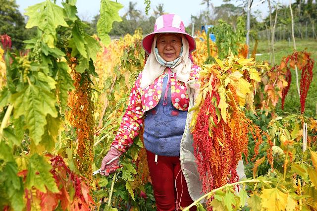 紅藜是一種對吃的人身體好,對種的人也很好的作物