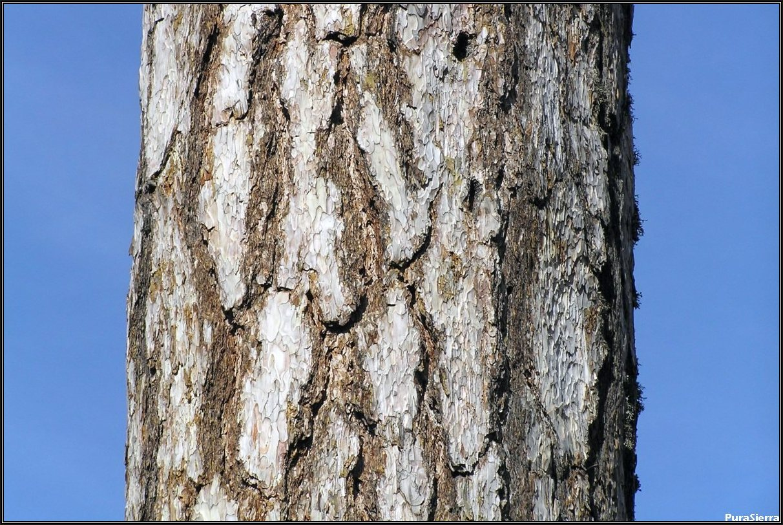 Surcos en el tronco de un pino laricio