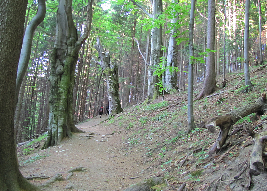 Las Południowego Gronia.