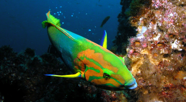 Gambar Ikan Wrasse - Budidaya Ikan