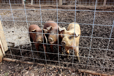 Red wattle pigs on the homestead