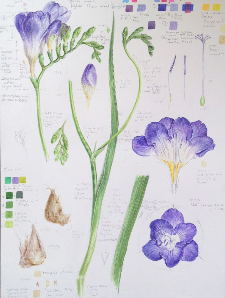 botanical study of purple freesia