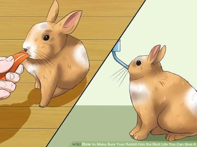 cara dan pola memberi pakan kelinci hias lop yang benar dan baik