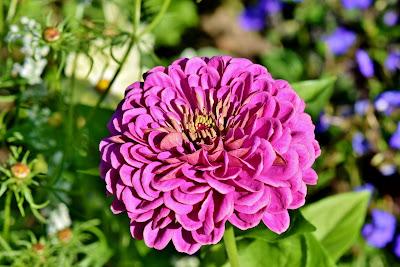 https://pixabay.com/pl/photos/cynia-kwiat-kompozyty-kwiat-lato-3945544/