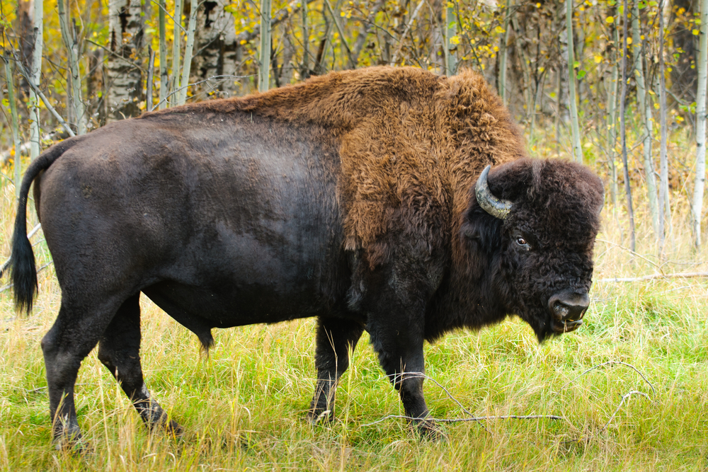 A Woodsrunner S Diary Wood Bison Powder Horns