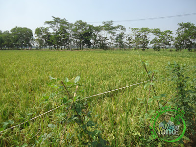 FOTO 2 :   Tanaman Padi TRISAKTI 63 HST MT2 Sudah Matang Adonan  di Sawah Tegalsungsang BB