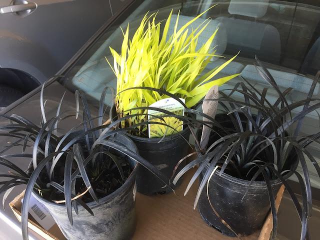 black mondo grass pairings