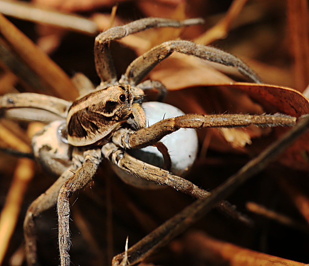 Trapdoor Spiders Bite: Opportunity Knocks With Wolf At The Door
