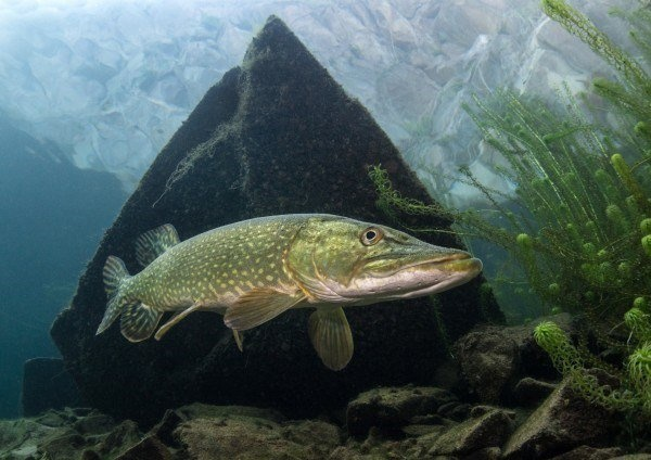 The Best Underwater Photos EVER Taken Show Life From A Different Angle. - 'Pike in quarry' by Trevor Rees (UK)