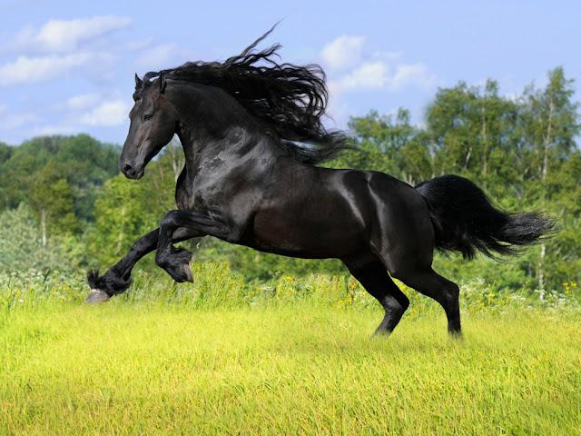 beautiful black horse
