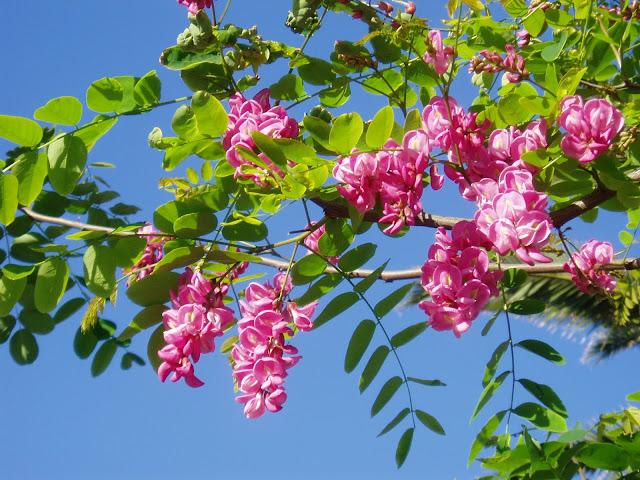 ACACIA: Robinia pseudoacacia
