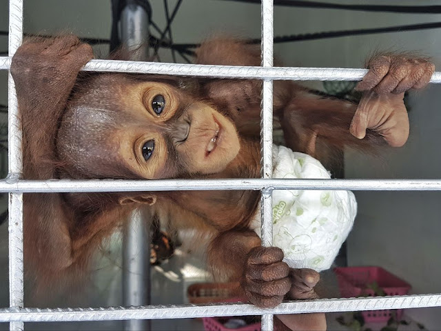 Group: Orangutan orphans a sign of habitat destruction