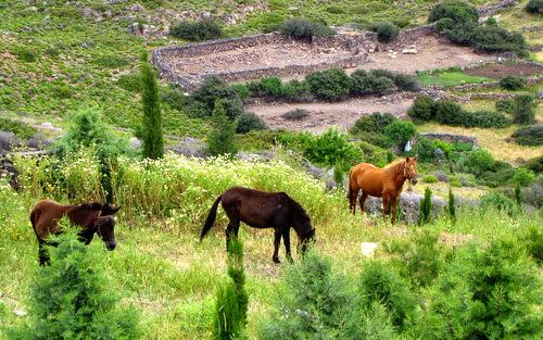 Cavalli al pascolo a Patmos