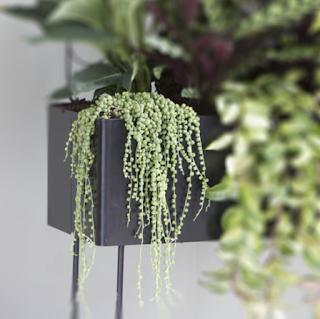 riippuva kasvi