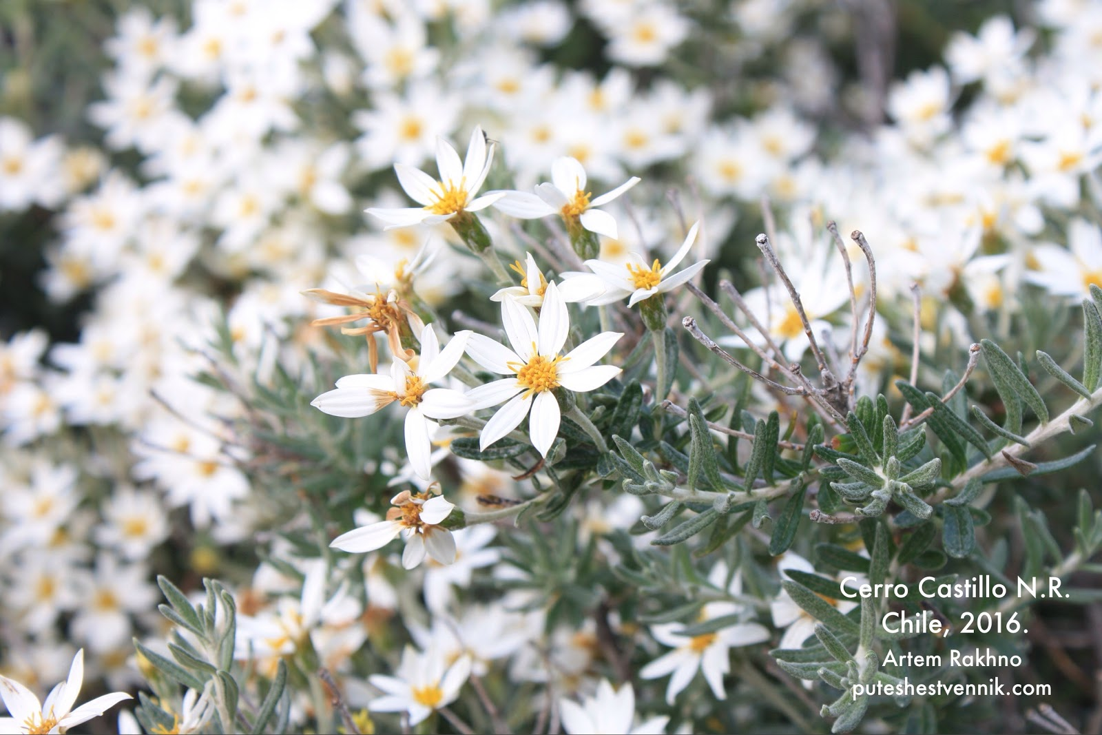 Горные цветы в Чили