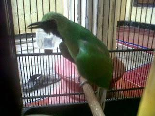 Rahasia Perawatan Harian Burung Cucak Hijau Yang Paling Paten dan Membuat Burung Gacor