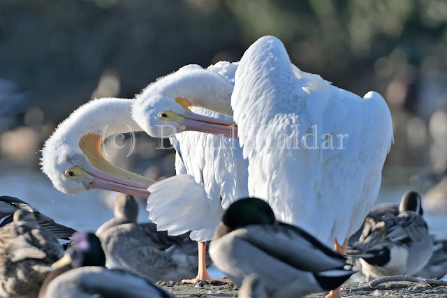 Great White Pelicans Preening