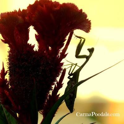 Praying mantis on flower at sunset