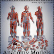 Which anatomy model will best suit your requirements?