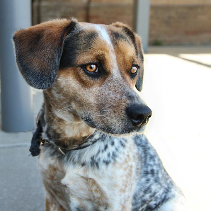 white beagle lab mix puppies