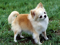 Chihuahua Animal Pictures
