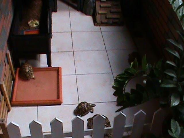 """大樂的秘密花園 Indian Star Tortoise : 2014 大樂陽臺印星龜窩 之 """"紅荳雙層篇 """" 2015/01/05 進階改良版"""