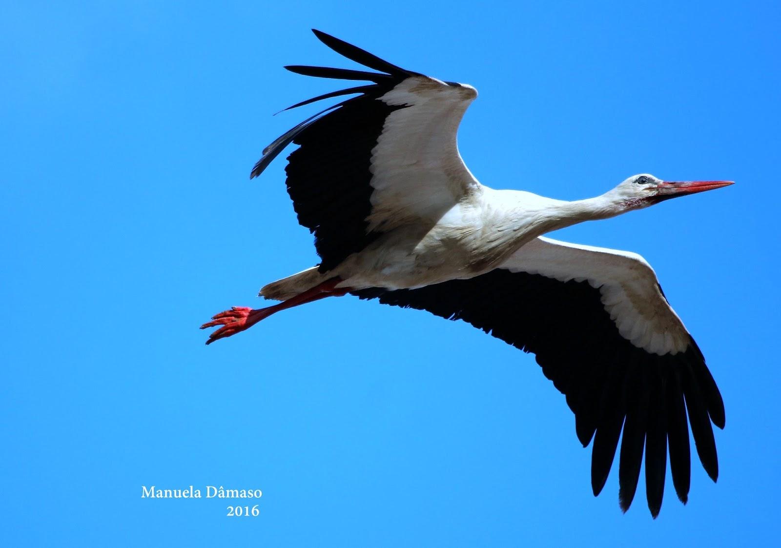 voando na natureza cegonha branca