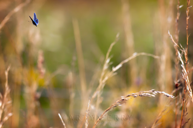 Butterfly flaps through the grasses in this shallow depth of field image